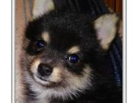 Addie is a beautifully marked little pomsky. She is