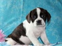 Teddy is a cute and cuddly Cavalier/Boston Terrier mix
