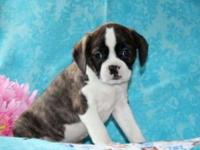 Tisa is a cute and cuddly Cavalier/Boston Terrier mix