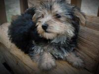 Yorkie and Coton De Tulear Female Beautiful Teddy bear