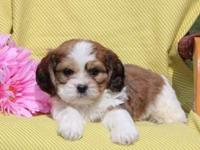 Here comes Kevin, a cuddly Cava-Tzu puppy ready to be