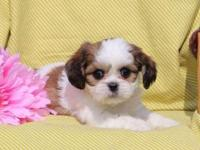 Here comes Korey, a cuddly little Cava-Tzu puppy ready
