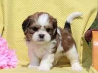Here comes Kyle, a cuddly Cava-Tzu puppy ready to be