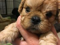 Phineas is a toy poodle toy spaniel mix. He is golden