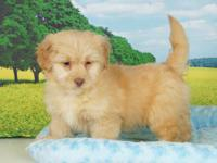 Shi/Pom-Poodle Vaccinated and ready to go. Please CALL