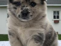 Liza is a beautiful pomski puppy who looks like a