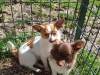 50% hybrid cross, 1/2 Papillon and 1/2 Chihuahua. Will