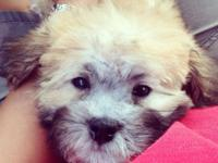 "Cooper is a male designer breed ""teddy bear""puppy, or"