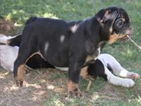 Special 8 week old little black and tan male designer