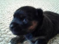 Lovable little Female Chorkie. Daddy is AKC 4 pound