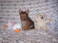 Designer Chorkie puppies, these little guys are as cute