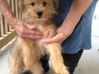 Designer Dogs....Two male Yorkie- Pomeranian mix ready