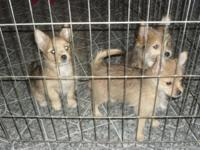 Two female and two male Yorkie & Pomeranian mix