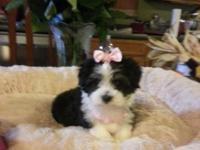 THIS IS DOMINO. SHE IS A DESIGNER MALTIPOO. HER MOMMY