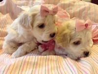 Sweet toy maltipoo young puppies great family pet dog.