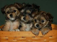 Designer Morkie Puppies-2 girls and a boy! Adorable!