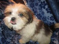 Beautiful, small Designer Puppy available - READY NOW