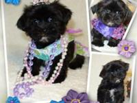 Teacup Designer Shorkie Puppies Ready Now! Absolutely
