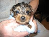 Cherokee is a female 3/4 Yorkie, she was born April 10,