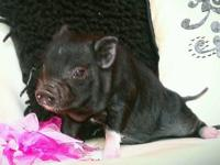 Ready now and looking for new domestic pet pig family's