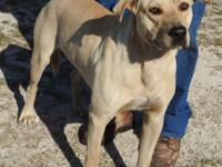 Deuce is a large male Lab mix, yellow in color.  He is