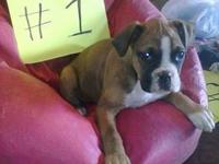 I have Deutscher German Boxer puppies for sale, they