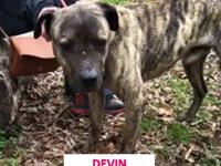 Devon is a wonderful and calm Mastiff mix.  He is about