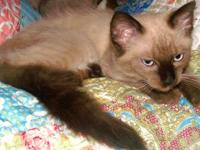 Devon Rex Foxtail kittens for sale. Predestined to end