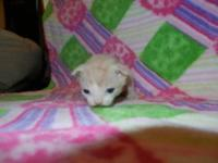 Devon Rex Kittens for sale 1 Boy & 2 Girls. D.O.B. Nov.