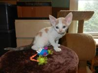 Devon Rex kittens for sale. 1 White boy and 1 patched