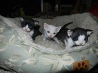Devon Rex Kittens for sale. 2 Boys D.O.B. Jan. 15th,