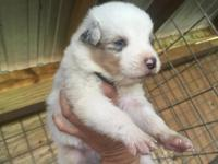 Dexter is a AKC Blue Merle Male he was born 10/09/2015