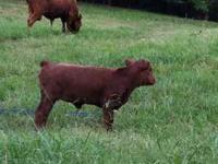 For sale polled Dexter heifer, born 4/27/11, dun in