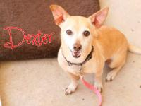 Dexter is an older chihuahua mix rescued from PAWS. He
