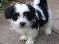 dsdfg Two Lovely Havanese  puppies available. 11