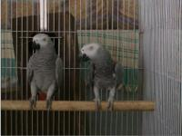 Adorable pair of African grey parrots, they are well