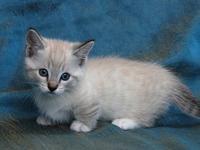 dfghjklmnn munchkin kittens for sale for more infors
