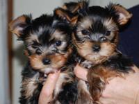 Pure Bred Yorkshire terrier pups. call/text.... Ready