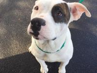 Diamond is a 2yr American Bulldog girl. She was Sadly