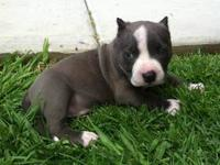 Diamond out of ABKC CHAMP Pretty boy Floyd X