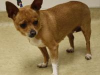 .DIAMOND is a 9 year old Chihuahua girl, weighs 10