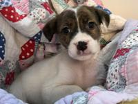 Diamond is a female puppy, white with brindle markings