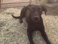 Diamond is a 2 year old black lab who's on the search