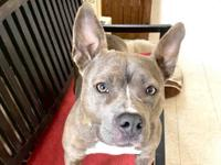 Diamond is a 1 year old female pit bull mix. She is