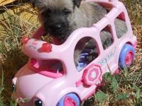 Champion Line Cairn Terrier puppies - growing fast.