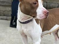 My story Diane is a 2-year-old American pitbull terrier