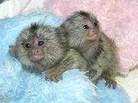Diapers Trained Marmoset monkey Babies for adoption