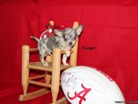 "Merle Chihuahuas ""Diego"" is a Blue Merle Male($700.00)"