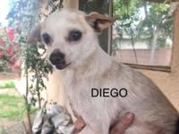 Diego is a sweet chihuahua who is between 8-9 years