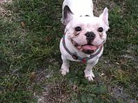 Diego's story Diego is Akc registered French bulldog